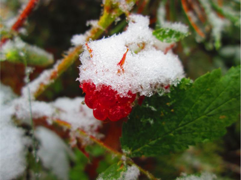 raspberry snow