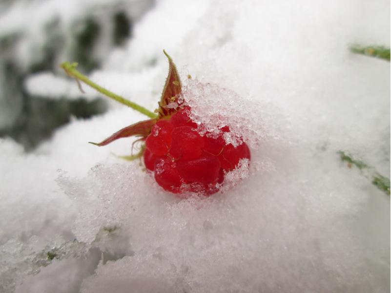 raspberry in snow winter rest